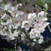 栗林公園の夜桜ライトアップ。夕闇に浮かぶ桜の花と、駐車場情報