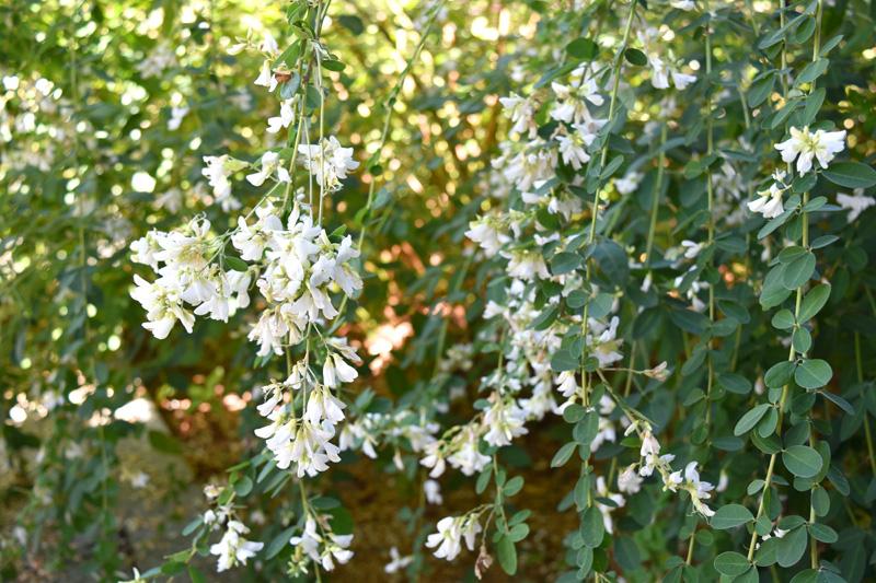 最明寺で咲いていた白い萩